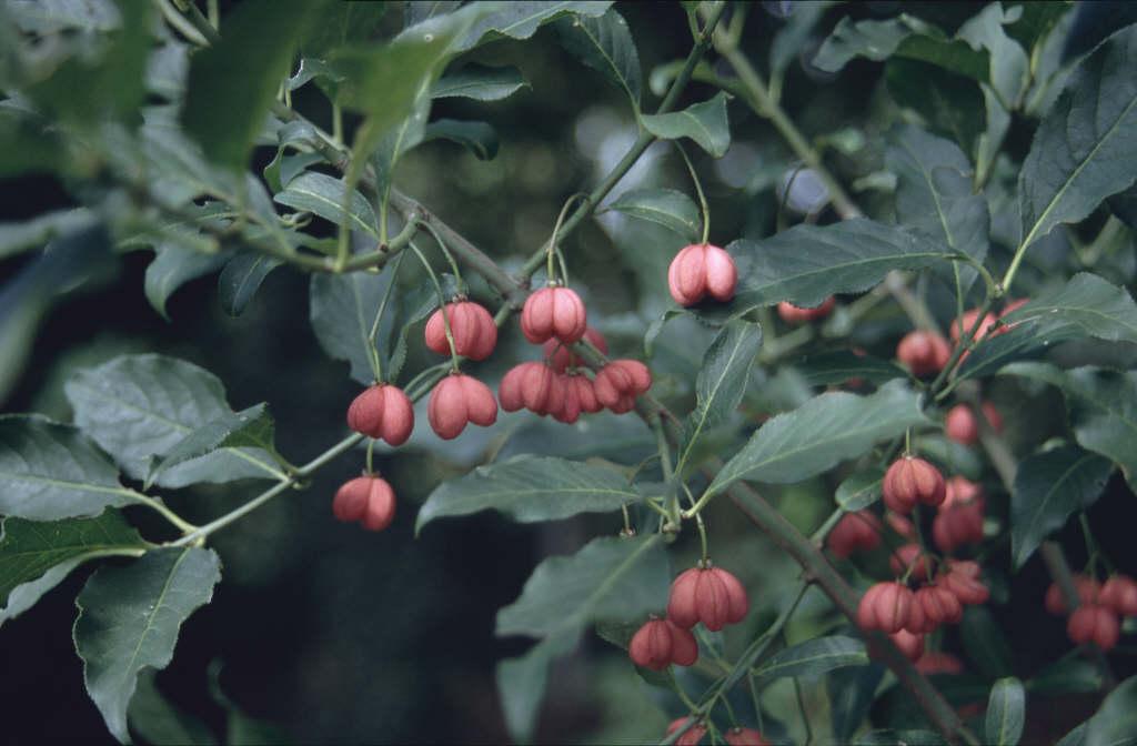 Euonymus Europaeus Spindle Rhs Gardening