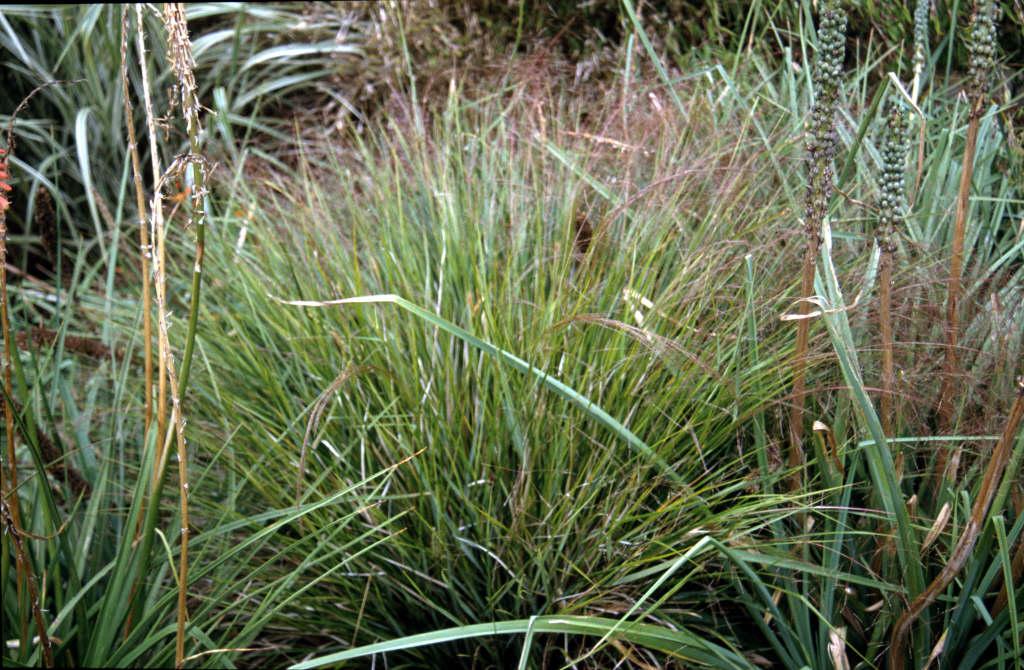 New Zealand wind grass