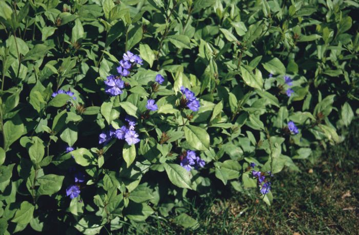 hardy blue-flowered leadwort