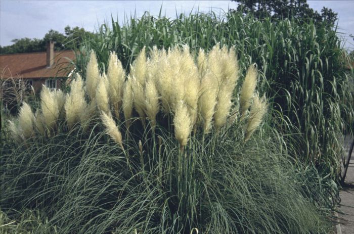 cortaderia selloana 39 pumila 39 pampas grass 39 pumila 39 rhs gardening. Black Bedroom Furniture Sets. Home Design Ideas