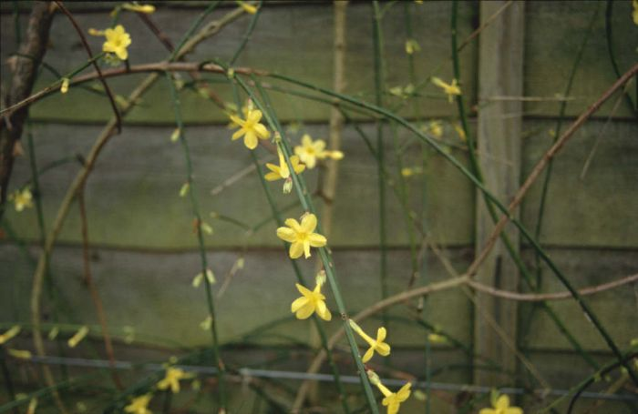 jasminum nudiflorum winter jasmine rhs gardening. Black Bedroom Furniture Sets. Home Design Ideas
