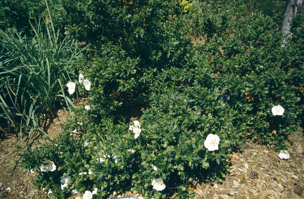 rock rose 'Decumbens'