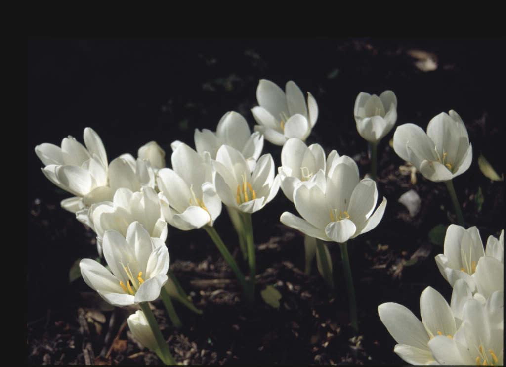 giant meadow saffron 'Album'