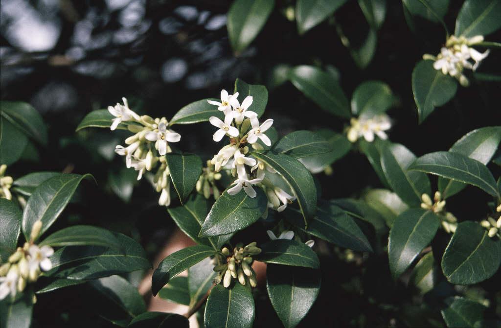 Burkwood osmanthus