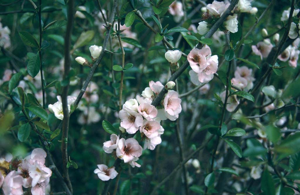 Japanese quince 'Moerloosei'