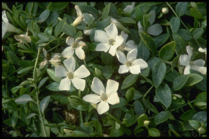 small white periwinkle 'Gertrude Jekyll'