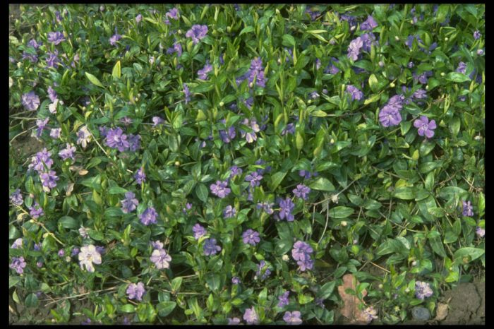 double-flowered azure periwinkle
