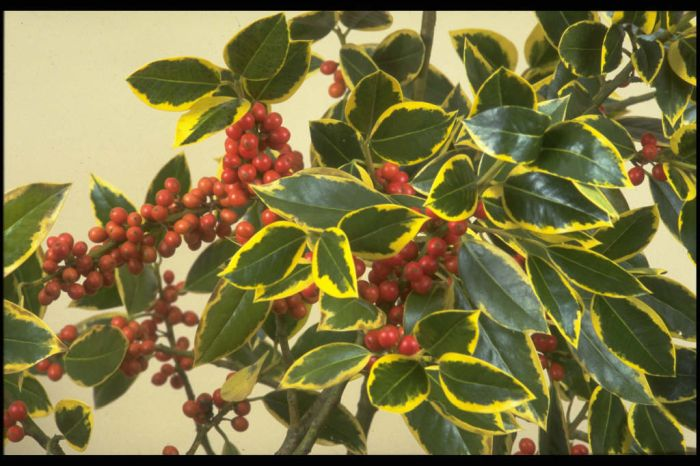 holly 'Belgica Aurea'
