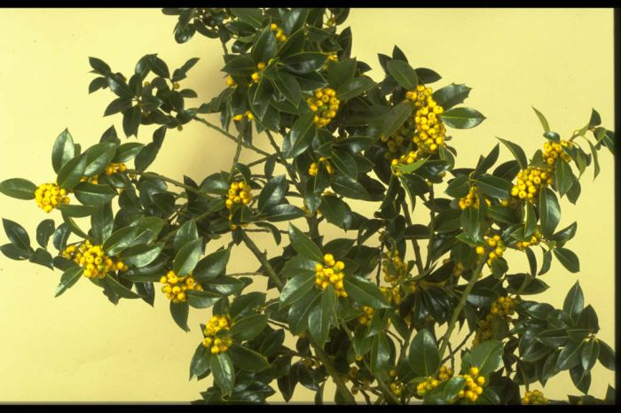 holly 'Pyramidalis Fructu Luteo'