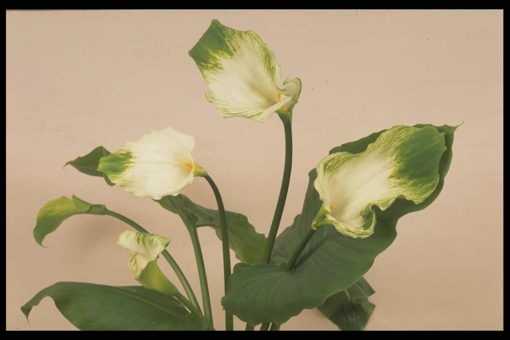 arum lily 'Green Goddess'