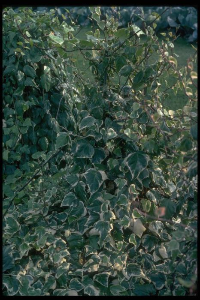 Algerian ivy 'Gloire de Marengo'