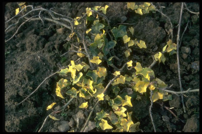 ivy 'Buttercup'