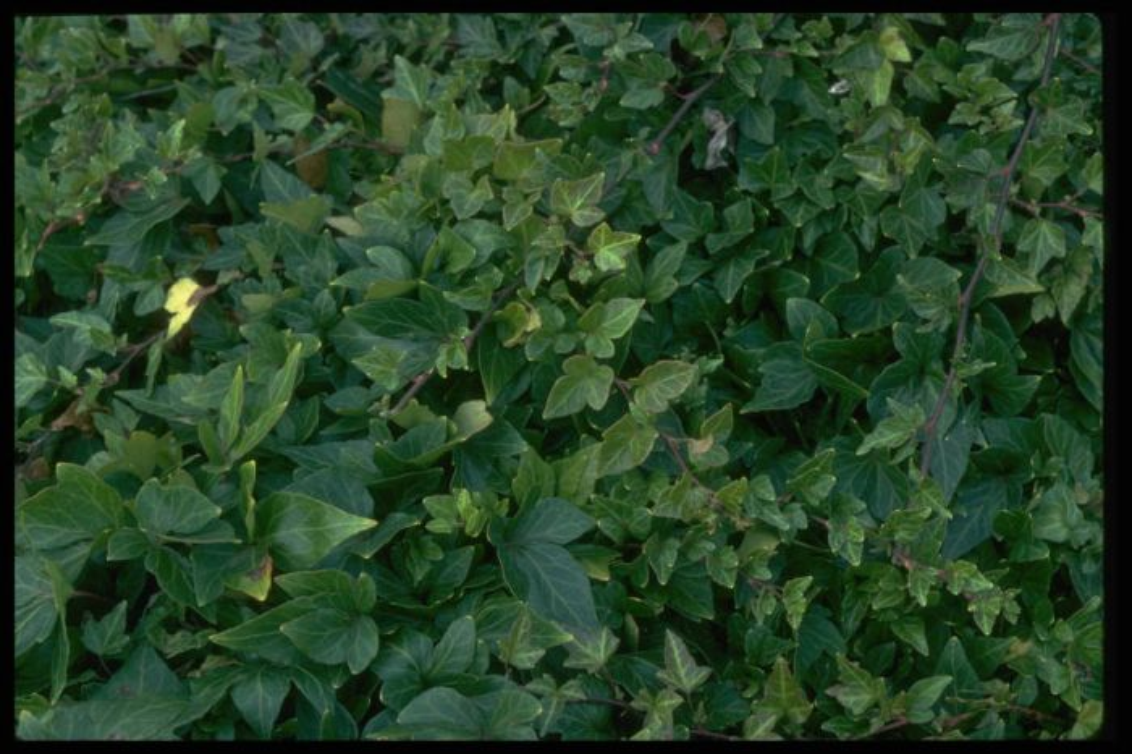 clover-leaf ivy