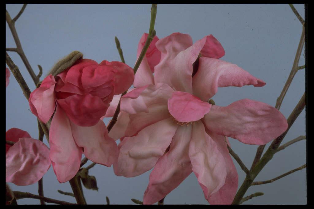 magnolia 'Eric Savill'