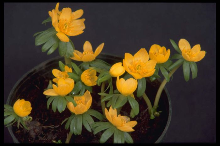 winter aconite 'Orange Glow'
