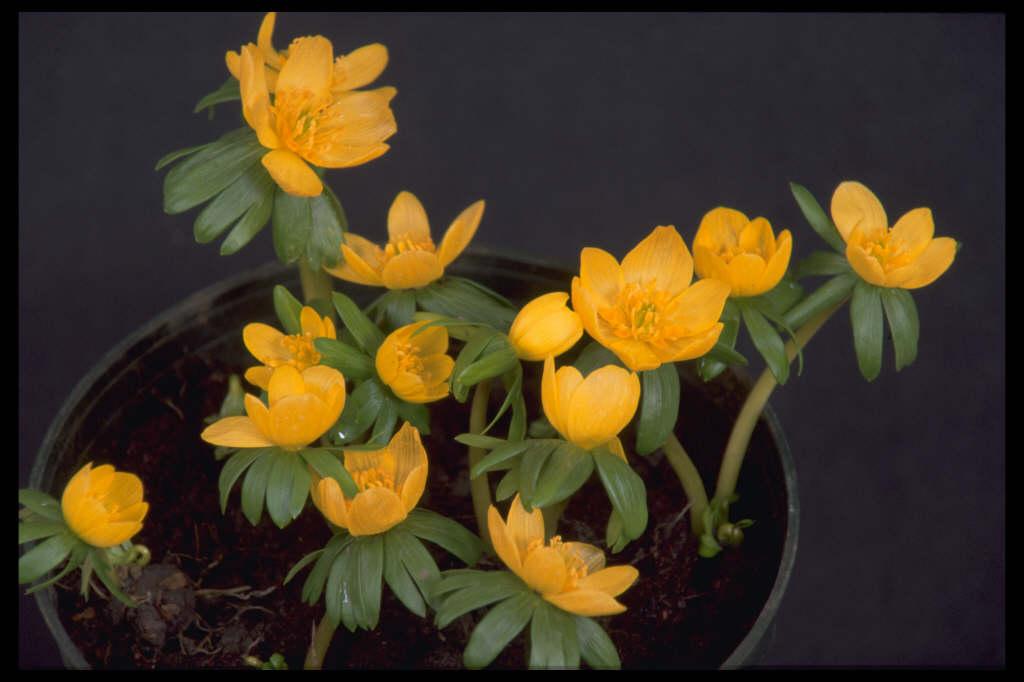 <i>Eranthis hyemalis</i> 'Orange Glow'