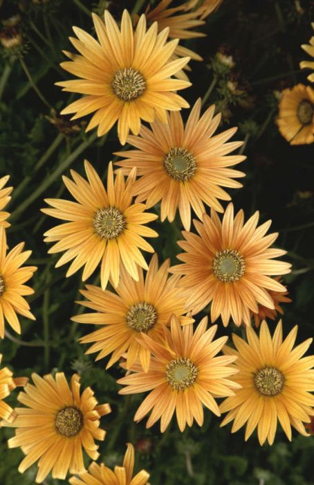 African daisy 'Flame'