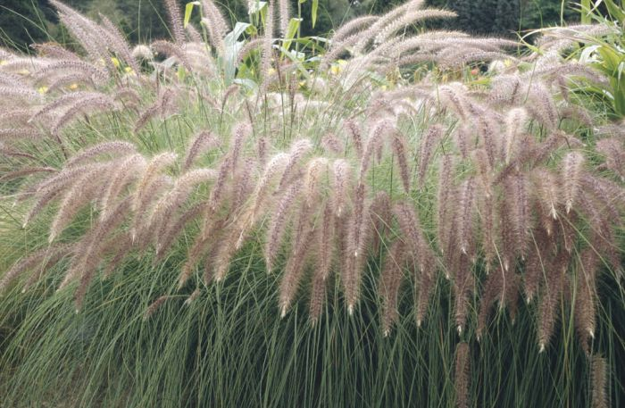 African fountain grass