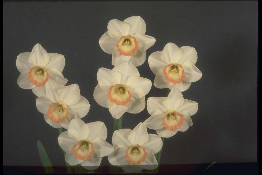daffodil 'Avalanche'
