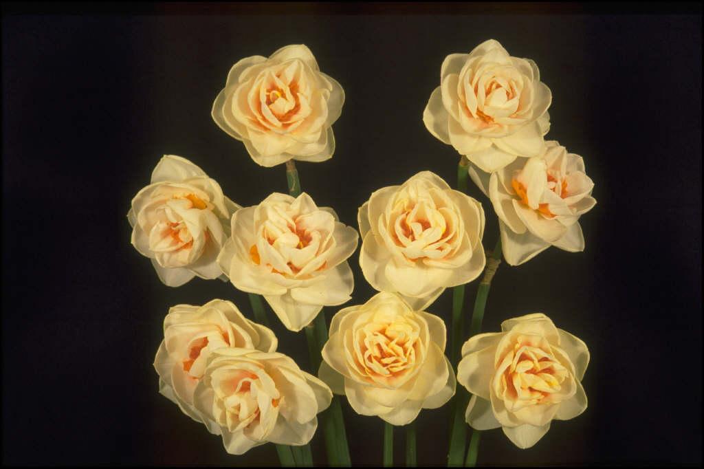 daffodil 'Gay Kybo'