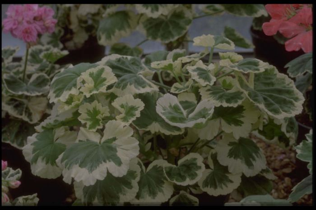 pelargonium 'Mrs J.C. Mappin'