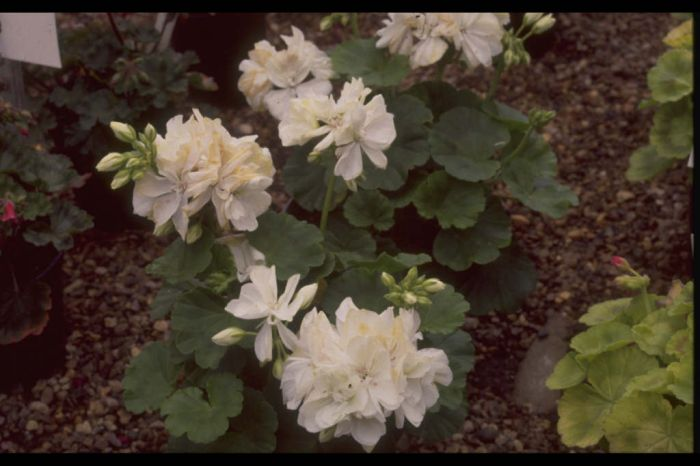 pelargonium white 'Fantasia'