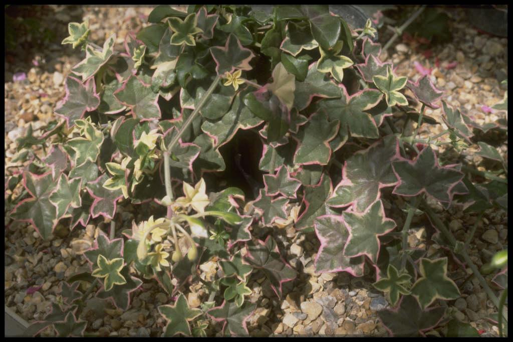 pelargonium 'L'&#233