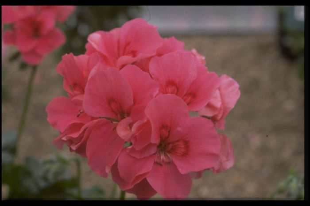 <i>Pelargonium</i> 'Renee Ross' (I/d)