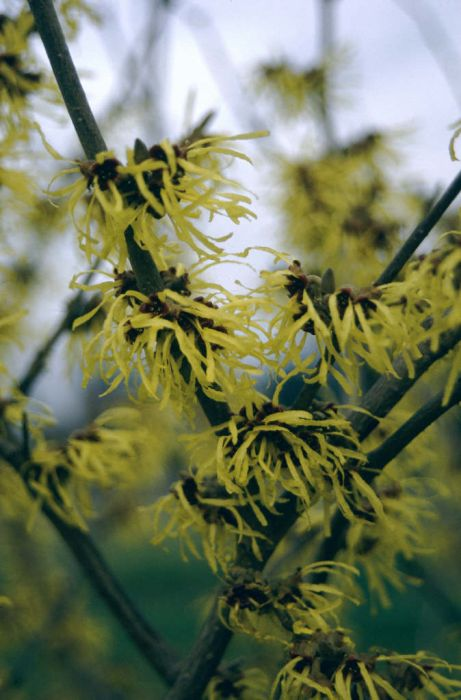 witch hazel 'Pallida'