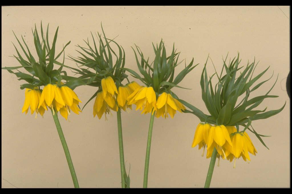 Fritillaria imperialis Maxima Lutea crown imperial Maxima