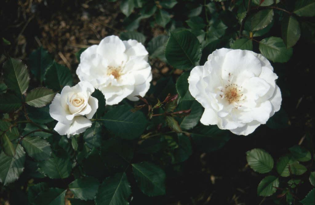 rose [Margaret Merril]