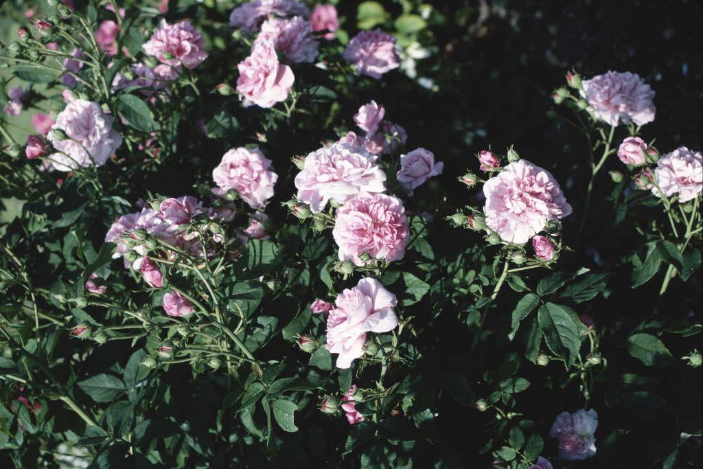rose 'Ispahan'