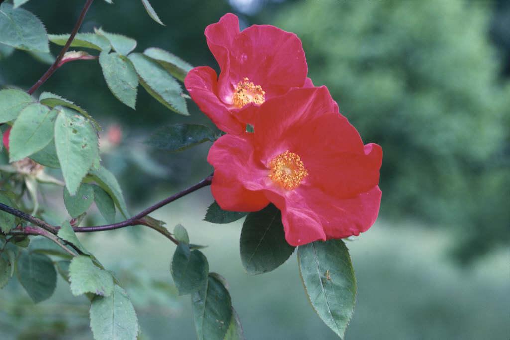 rose 'Scharlachglut'