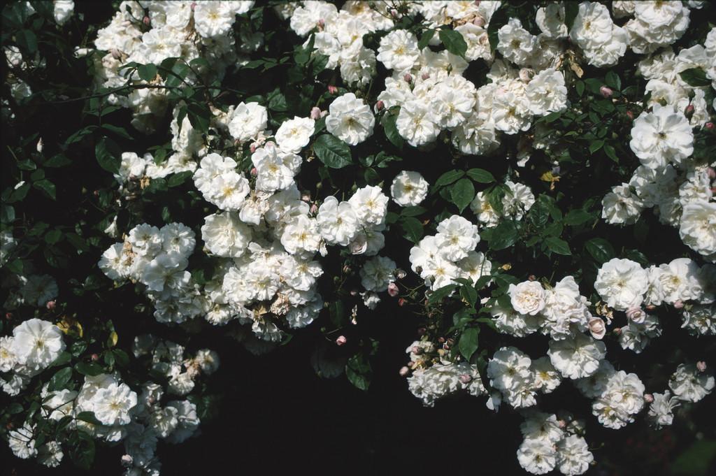 rose 'Adélaïde d'Orléans'