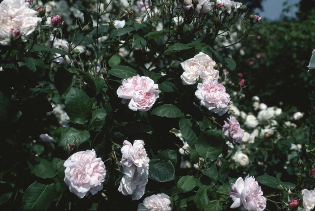rose 'Fantin-Latour'