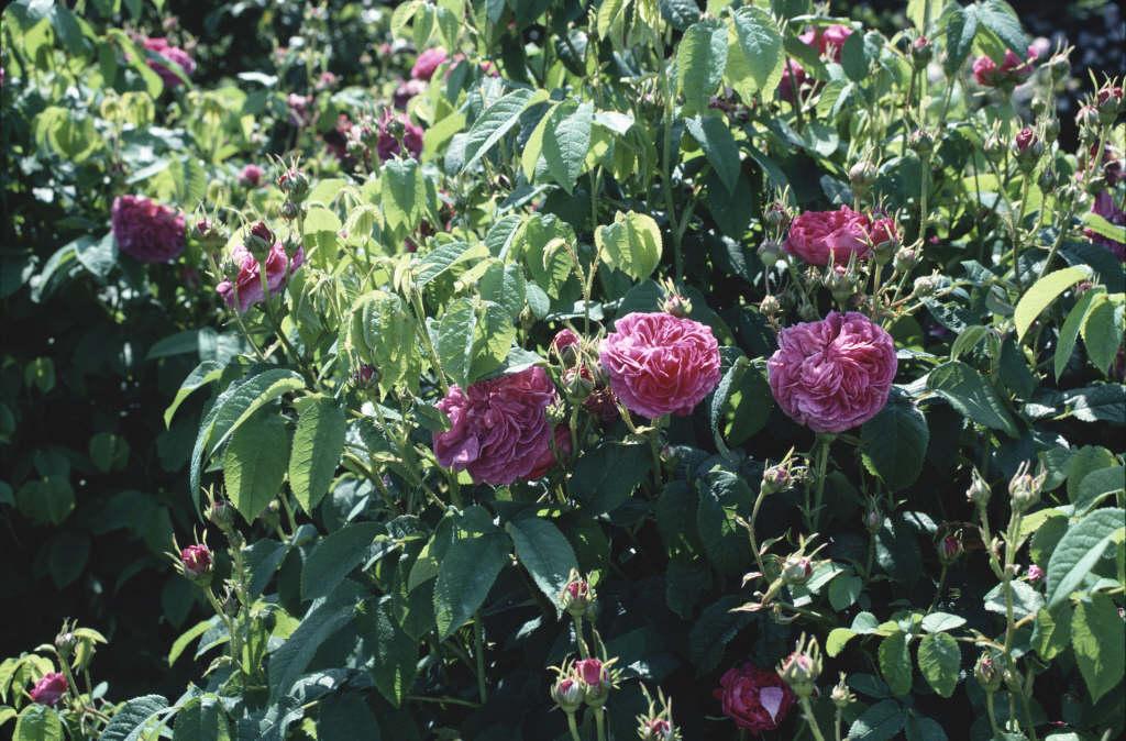 rose 'Duc de Guiche'