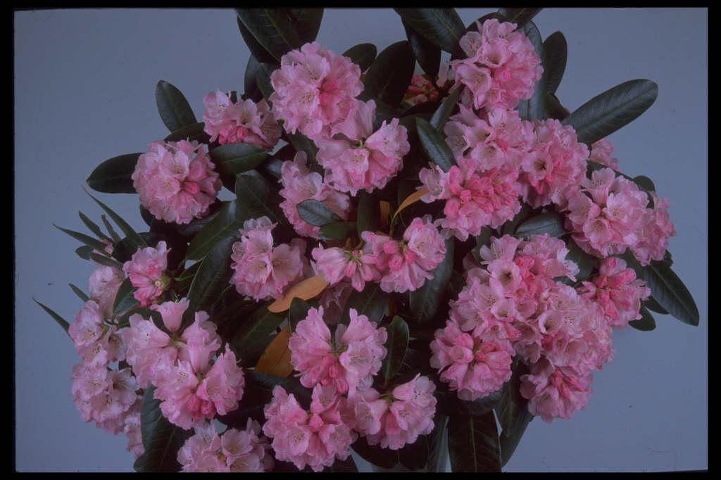 cinnamon-coloured rhododendron