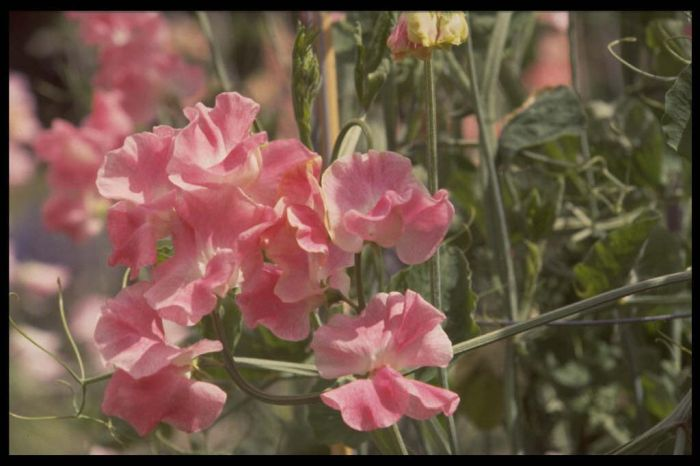 sweet pea 'Lizbeth'