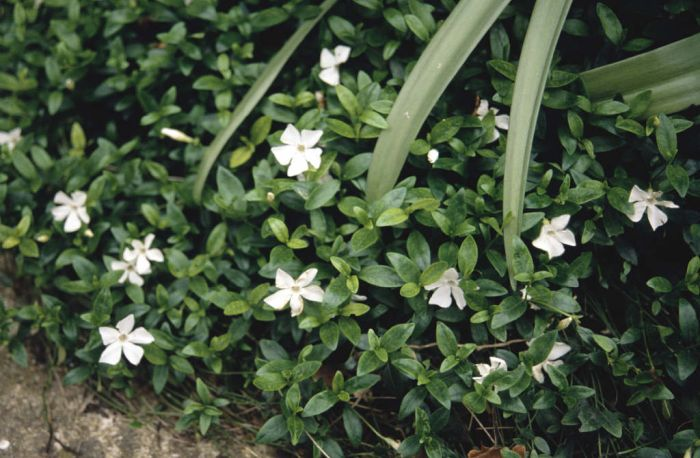 vinca minor f alba small white periwinkle rhs gardening. Black Bedroom Furniture Sets. Home Design Ideas