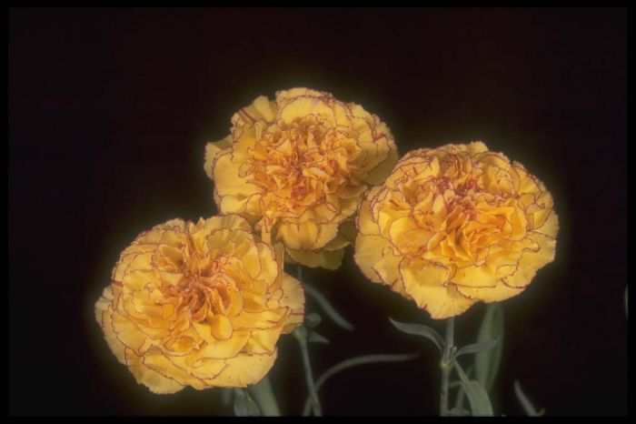 perpetually flowering carnation 'Ann Franklin'