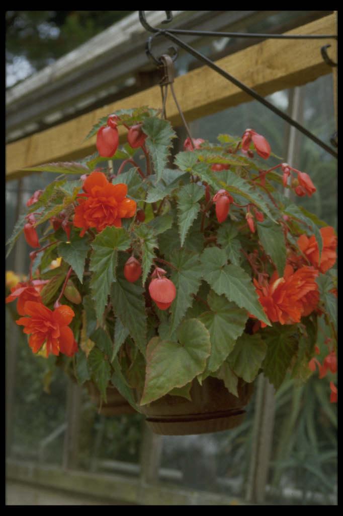 begonia 'Illumination Orange'