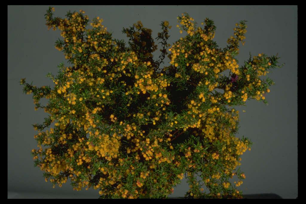 golden barberry 'Corallina Compacta'