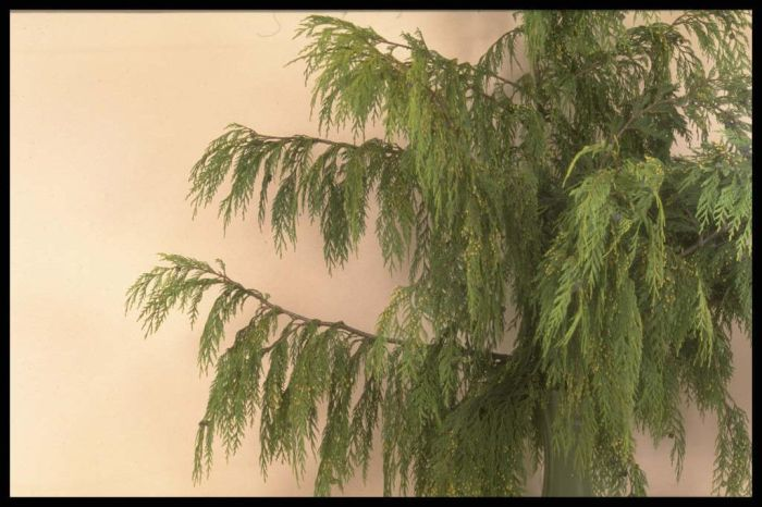weeping Nootka cypress