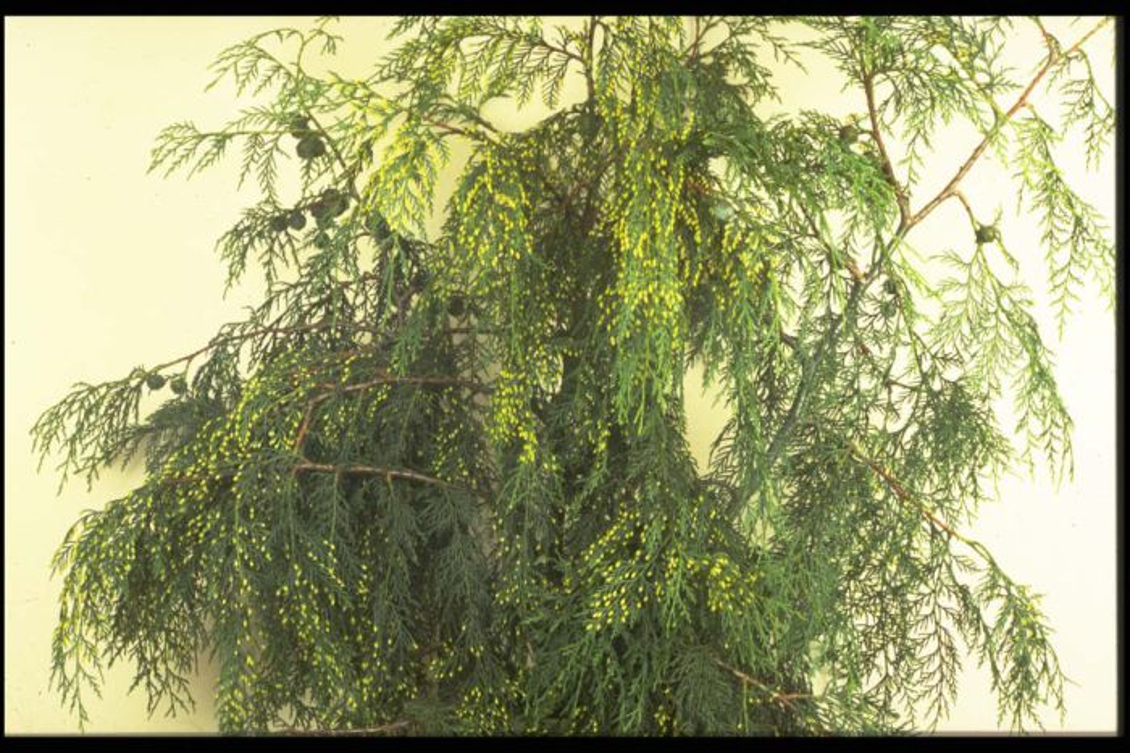noble cypress