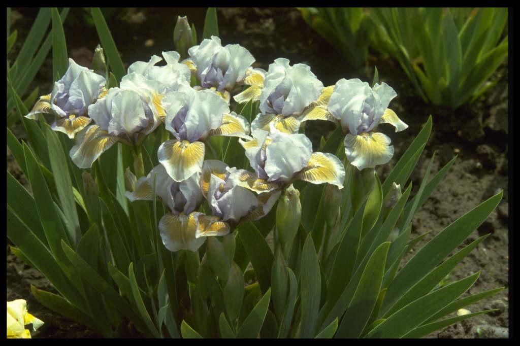 iris 'Bromyard'