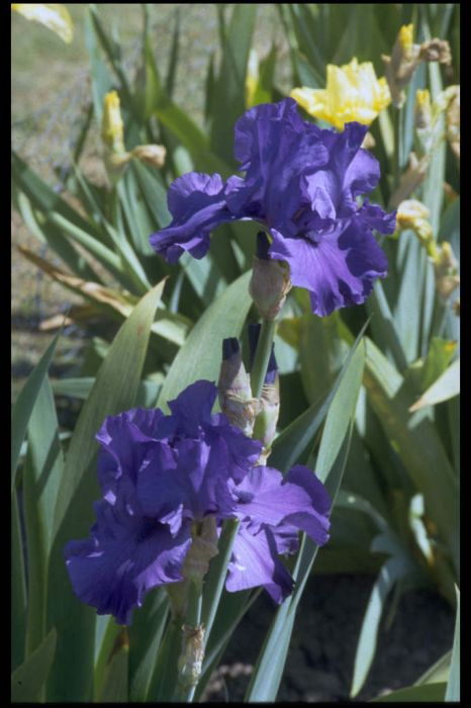 iris 'Blue Luster'