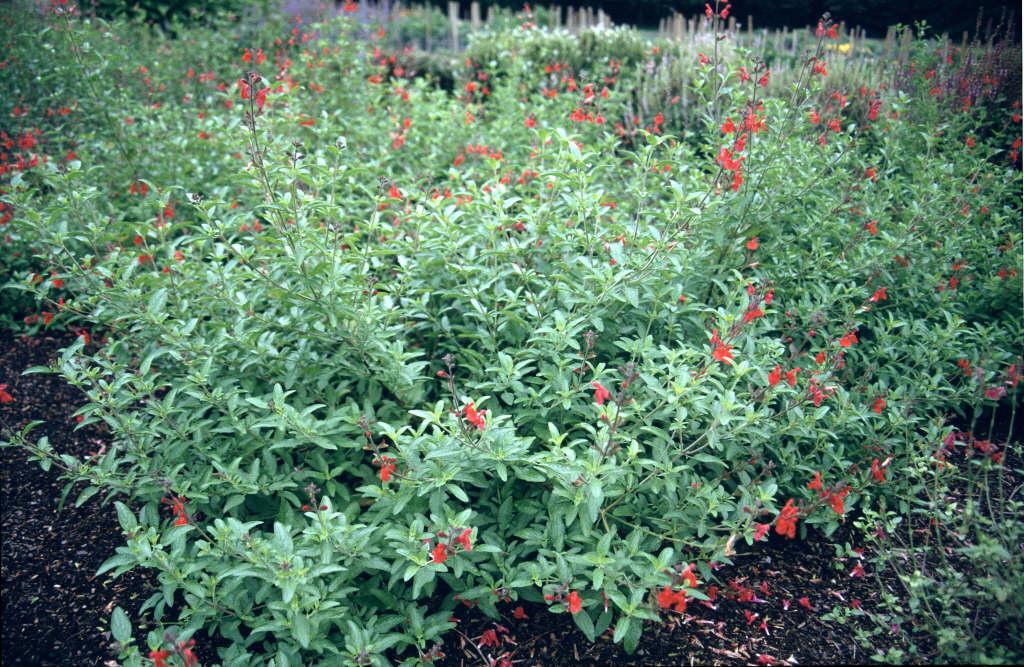baby sage 'Kew Red'