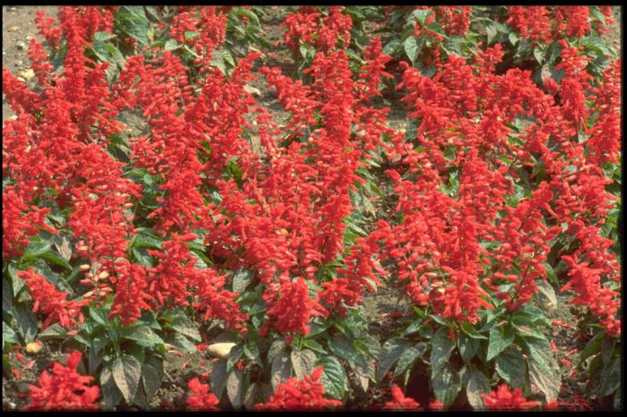 scarlet-flowered sage 'Vanguard'