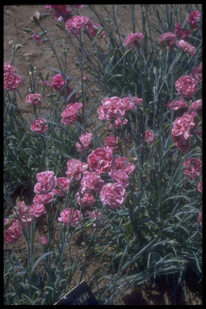 pink 'Coronation Ruby'