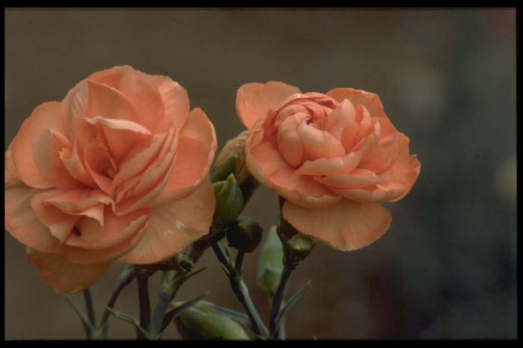 border carnation 'Eileen O'Connor'